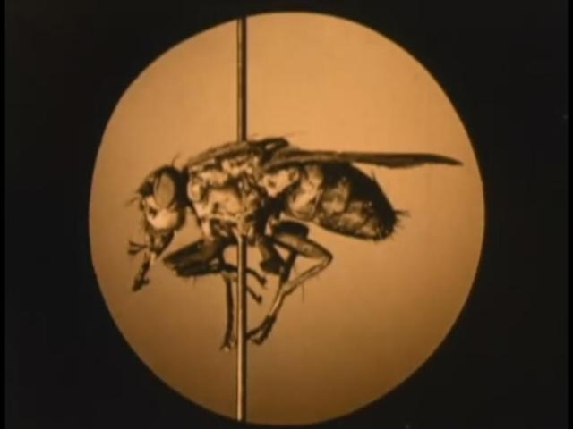 Resultado de imagem para la mosca y sus peligros 1920 pics